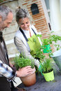 Couple gardening together senior planting aromatic herbs in pot Royalty Free Stock Image