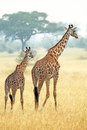 Couple of giraffes (Giraffa camelopardalis) walking in Serengeti Tanzania Royalty Free Stock Photo