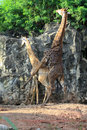 A couple of giraffes make love in zoo Stock Image