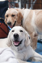 Couple of golden retrievers dogs on competition Stock Photo