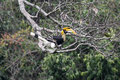 Couple Of Great Hornbill In Na...