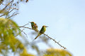 Couple of green bee eaters merops orientalis in porbandar bird sanctuary Stock Photography
