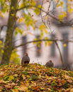 A couple of the grey partridge pair partridges perdix perdix rests under tree in lithuanian forest in typical autumn ambient Royalty Free Stock Image