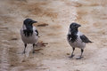 Couple of hooded crows sitting in water Stock Photo