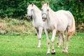 Couple of horses Royalty Free Stock Photo