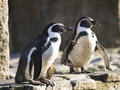 Couple of Humboldt penguins Royalty Free Stock Photos