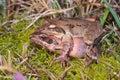 Couple of Italian agile frogs (Rana latastei) Royalty Free Stock Photo