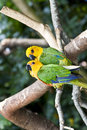 Couple of Jandaya Parakeet, parrot from Brazil Stock Photo