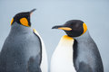 Couple of the king penguins closeup shot penguin at grytviken south georgia island antarctica Stock Photography