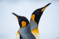 Couple of the king penguins closeup shot penguin at grytviken south georgia island antarctica Stock Photos