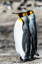 Couple of the king penguins falkland islands south atlantic ocean british overseas territory Stock Photos