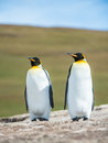 Couple of the king penguins falkland islands south atlantic ocean british overseas territory Royalty Free Stock Image