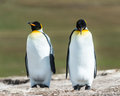 Couple of the king penguins falkland islands south atlantic ocean british overseas territory Royalty Free Stock Images