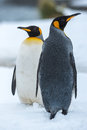 Couple of the king penguins penguin in love against white snow at grytviken south georgia island antarctica Stock Image