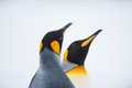 Couple of the king penguins in south georgia antarctica Stock Images