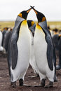 Couple king penguins stays in the falklands islands Stock Photography
