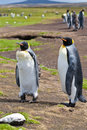 Couple king penguins in their colony after moult Royalty Free Stock Photo