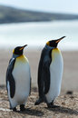 Couple of the king penguins two walk over coastline falkland islands south atlantic ocean british overseas territory Stock Photo