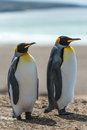 Couple of the king penguins two walk over coastline falkland islands south atlantic ocean british overseas territory Royalty Free Stock Image