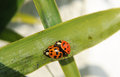 A couple of ladybugs on sexual intercourse Stock Photography