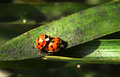 A couple of ladybugs on sexual intercourse Royalty Free Stock Image