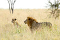 Couple of lion and lioness in savannah a panthera leo standing the serengeti national park tanzania Royalty Free Stock Photo
