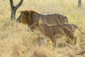Couple of lion and lioness walking in savannah a panthera leo the serengeti national park tanzania Stock Photo