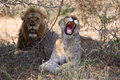 Couple of lions at kruger Royalty Free Stock Photo