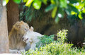 Couple lions in love Royalty Free Stock Photo