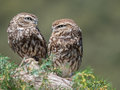 Couple of little owls Athene noctua  with big eyes in their na Royalty Free Stock Photo