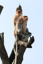 Couple of long nosed monkeys the proboscis monkey nasalis larvatus or monkey is a reddish brown arboreal old world monkey that is Royalty Free Stock Images