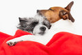 Couple in love of loving dogs bed close together Royalty Free Stock Photos
