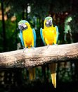 Couple macaw Stock Photos