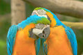 Couple macaws blue and yellow macaw birds preen each other Royalty Free Stock Photos