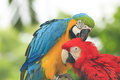 Couple macaws blue and yellow macaw birds preen each other Stock Photography