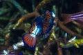 Couple Madarin fish Mating Royalty Free Stock Photo