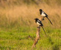 A couple of Magpies Royalty Free Stock Photo