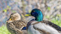 Couple of mallard ducks at spring seine river france near the Stock Images