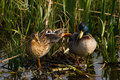 Couple of Mallards or Wild ducks Royalty Free Stock Photography