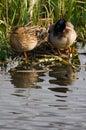 Couple of Mallards or Wild ducks Stock Images