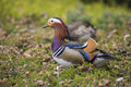 Couple of Mandarin duck Royalty Free Stock Photo