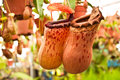 Couple Nepenthes in my garden Royalty Free Stock Image