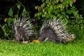 Couple of nocturnal animals malayan porcupine hystrix brachyura find some food in nature at kaengkrajarn national park thailand Stock Image