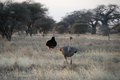 Couple of ostriches, Tarangire National Park, Tanzania Royalty Free Stock Photo