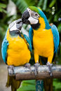 Couple of parrots Royalty Free Stock Photo