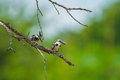 Couple of pied kingfisher ceryle rudis in nature Stock Photo