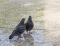 Couple of pigeons - conversation Royalty Free Stock Photo