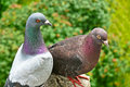 A couple of pigeons Royalty Free Stock Photo