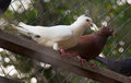 Couple of pigeons sitting at the branch,White and brown pigeon Royalty Free Stock Photo
