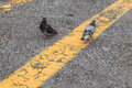 Couple of pigeons with yellow line. Royalty Free Stock Photo